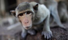 A long-tailed macaque, one of the most common monkeys used for research into infections diseases or psychology. Photograph: David Longstreath
