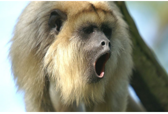 Madonna - a female Black Howler Monkey