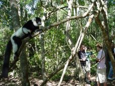 Ruffed Lemur in the Monkeyland forest