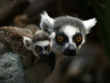 mum and baby ringtail lemur