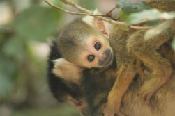 Squirrel Monkey Baby