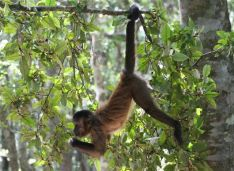 Capuchin - hanging about at Monkeyland