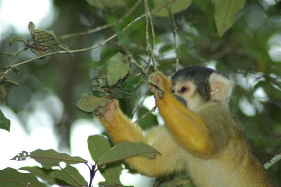 squirrel monkey foraging at Monkeyland