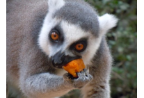 Hungry Lemur