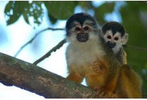 Squirrel Monkeys