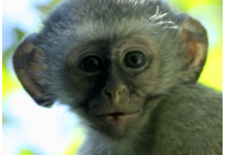 Way to cute baby Vervet Monkey
