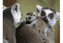 Ringtails with baby