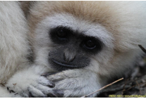 Atlas the gibbon