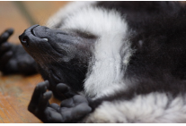 Black-and-white Ruffed lemur sleeping