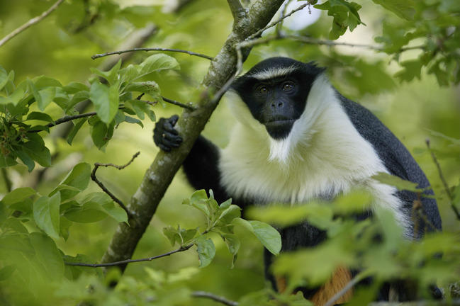 Image result for The Roloway Monkey
