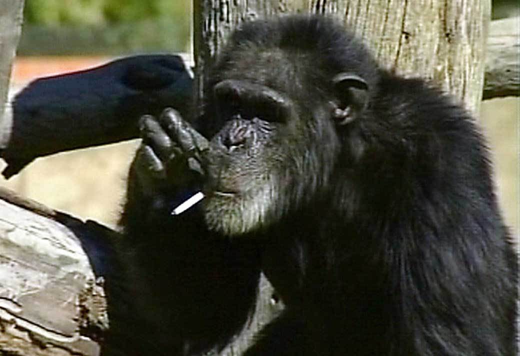 charlie the smoking chimp dies at s africa zoo monkeyland primate