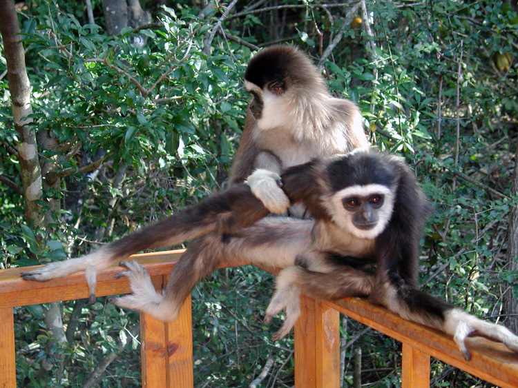 Bruni + Kecubung - the Lar Gibbons